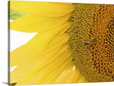 Tuscan Sunflowers III