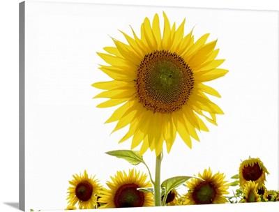 Tuscan Sunflowers IV