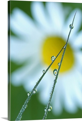 Blades of Grass After Rain with Daisy