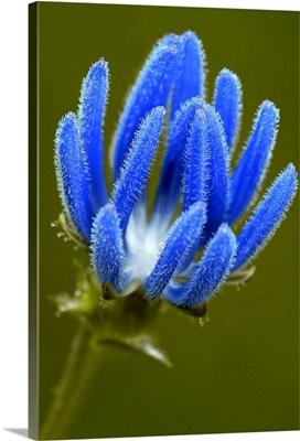 Blue Thistle Wild Flower