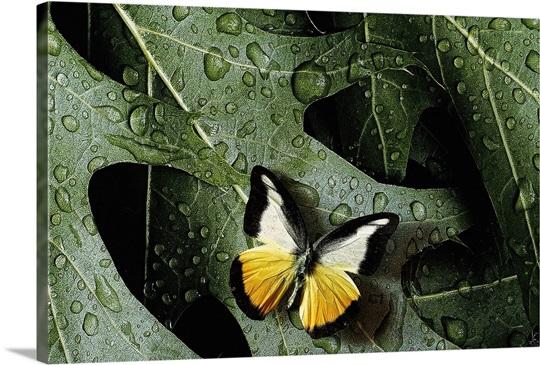 Butterfly On Oak Leaves