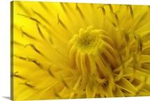 Center of Yellow Mum