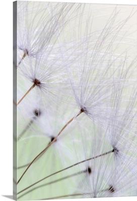 Dandelion Seed Puffs