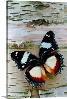 Exotic Butterfly on Birch