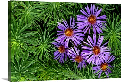 Family of Purple Aster Among Greenery