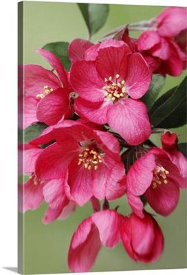 Flowering Fruit Blossoms