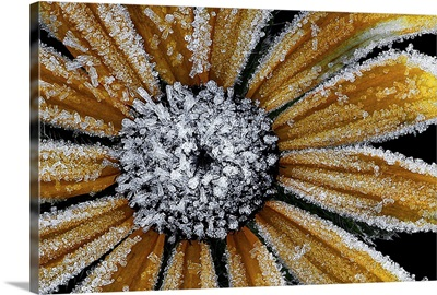 Frost on the Black Eyed Susan
