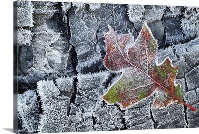 Frosted Oak Leaf on Frozen Logs