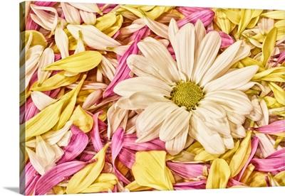 Gerbera and Petals