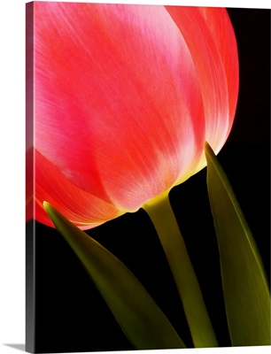 Glowing Tulip