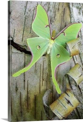 Green Moth on Birch