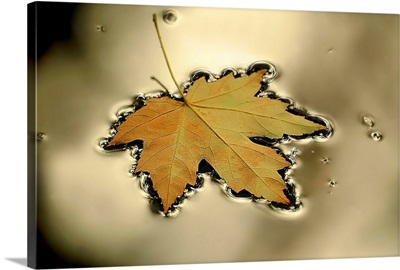 Maple Leaf Floating in a Platinum Puddle