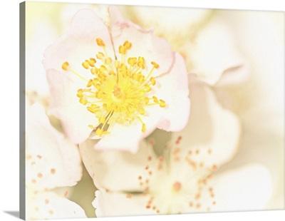 Multi-Flora Rose