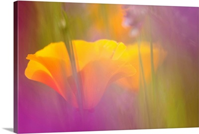 Orange Poppies amidst Lavendar