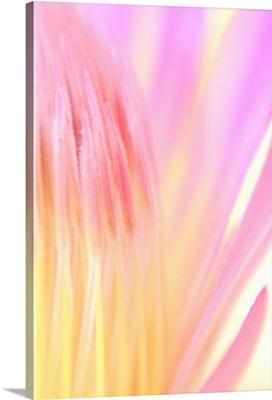 Pink Mum Blossom Opening