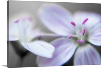 Pink Stamen on White Blossom in Soft Focus