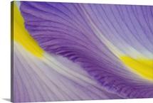 Purple and Yellow Iris Petal Detail