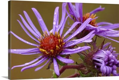 Purple Aster After Rain