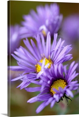 Purple Aster Blossoms