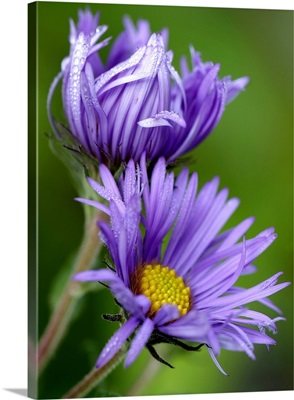 Purple Aster in the Morning