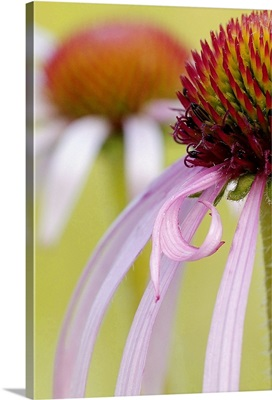 Purple Cone Flower Petal Detail