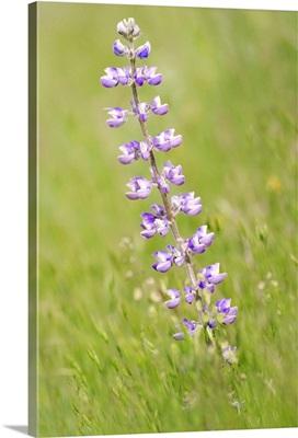 Purple Gorge Flower Amid Field of Green
