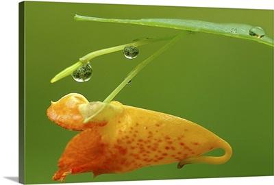 Raindrops on the Jewel Weed