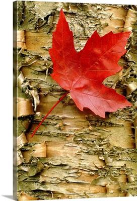 Red Maple on Peeling Birch