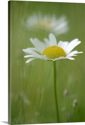 Single White Petal Daisy in Field of Green