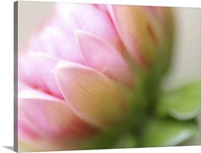 Soft Focus Pink Lotus Flower