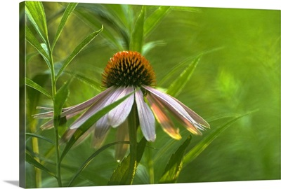 Soft Focus Purple Coneflower