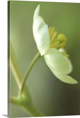 Soft Focus White Blossom