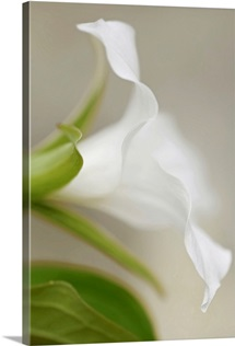 Soft Focus White Lily