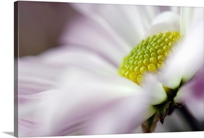 Stamen of White Daisy with Hint of Purple