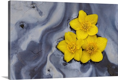 Three Daffodils Floating in Water