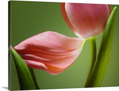 Tulip Horizontal