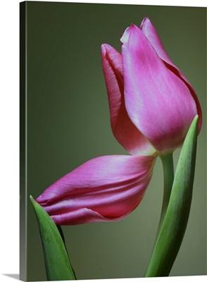 Tulip Vertical