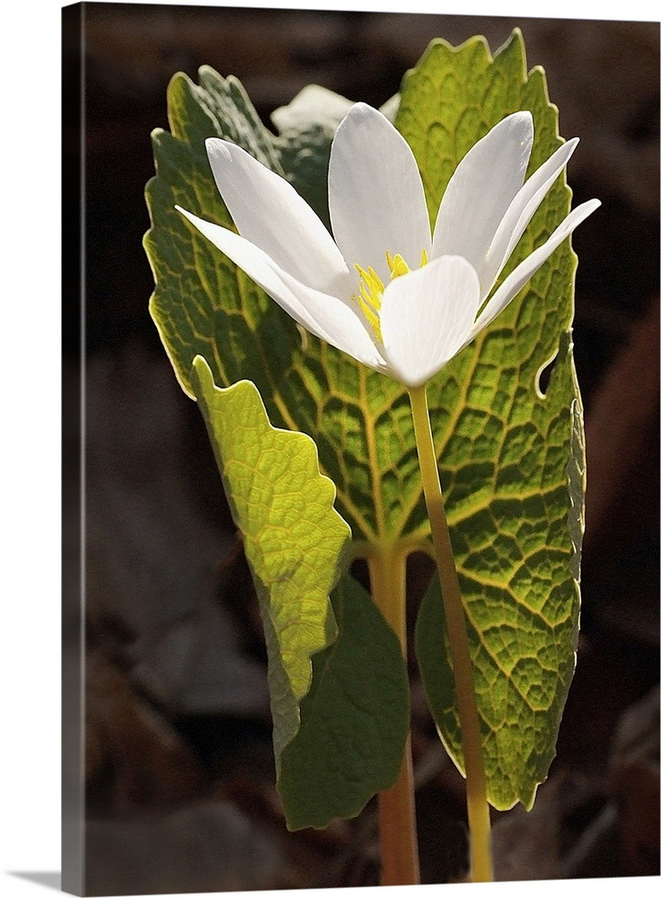 White Bloodroot Flower Sheltered by Green Leaf Wall Art