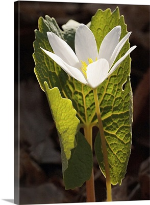 White Bloodroot Flower Sheltered by Green Leaf