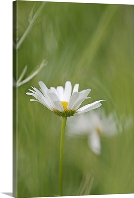 White Daisy against Blurred Background