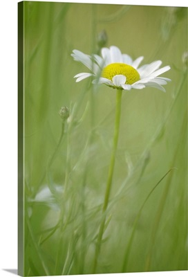 White Daisy Blowing in Green Field Grass