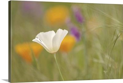 White Poppy in Green Field