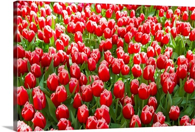 A mass of red tulips with white edges at a spring exhibit
