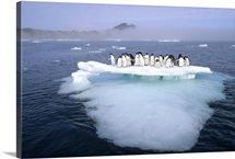 Adelie Penguin group crowding on melting summer ice floe, Possession Island