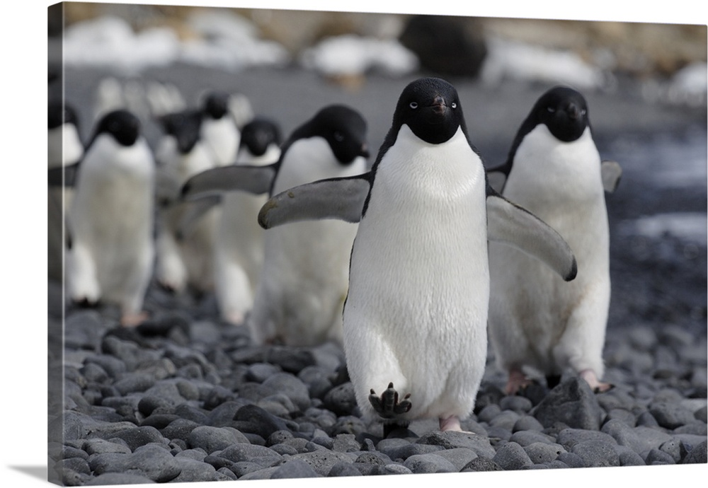 Adelie Penguin Group Marching To Colony Antarctic Peninsula Antarctica Wall Art Canvas Prints Framed Prints Wall Peels Great Big Canvas