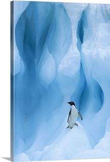 Adelie Penguin on iceberg, South Shetland Islands, Antarctic Peninsula