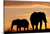African Elephant (Loxodonta africana) mother and calf silhouetted at sunset, Kenya