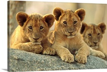 African Lion cubs resting on a rock, Hwange National Park, Zimbabwe