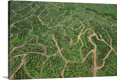 African Oil Palm plantation in early stage, Malaysia