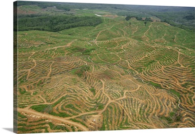 African Oil Palm plantation to be planted in recently cleared area, Malaysia